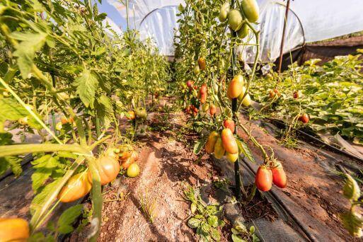 Küche - Tomaten aus dem Garten