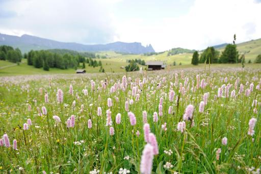 Blüten auf der Seiseralm